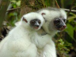Více než polovina druhů primátů stojí tváří v tvář vyhynutí
