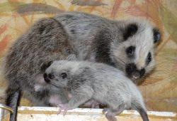 V ústecké zoo se podařilo odchovat první mládě velemyši obláčkové