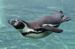 Tučňáci poznávají dvě chuti