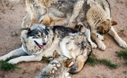 Psi nejsou tolerantnější než vlci