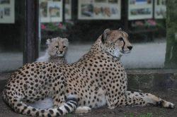 Dvojice gepardích koťat baví návštěvníky dvorské zoo