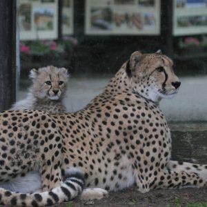 ZooDK_stehovani_gepardu_jakub_labsky_3