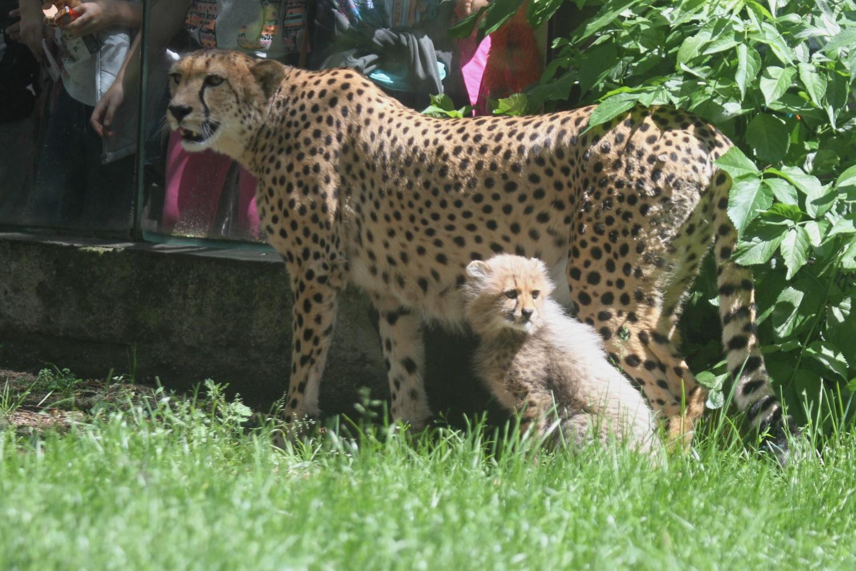 ZooDK_stehovani_gepardu_jakub_labsky_4