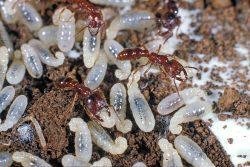 Tvoří mravenčí larvy speciální kastu?