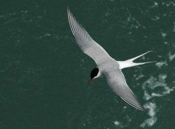 Rybáci během migrace uletí téměř 100 tisíc kilometrů