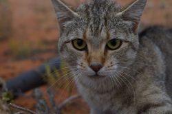 Austrálii drtí zdivočelé kočky