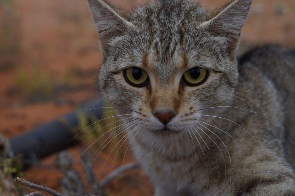 australská kočka