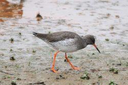 Přiláká ptačník ohrožené druhy bahňáků?