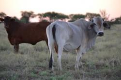 Antibiotika v zemědělství stojí nejspíše za zvýšenou produkcí metanu