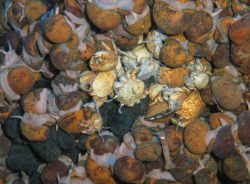 Na dně Indického oceánu objeveno šest nových živočišných druhů