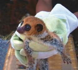 Objeven nový druh trpasličího lemura