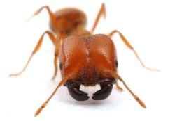 Invaze tropických mravenců začala v 16. století
