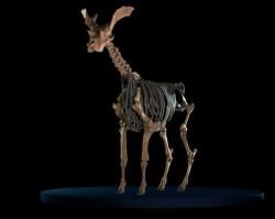 Jak vypadal příbuzný žirafy?