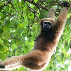 Nově objevený gibbon dostal jméno po Star Wars