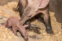 V dvorské zoo se narodilo první mládě hrabáče kapského