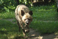 Po třech desetiletích se do dvorské zoo vracejí hyeny žíhané
