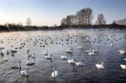 Mezinárodní sčítání vodních ptáků je tady!