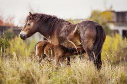 V rezervaci divokých koní včera uhynula matka prvního hříběte