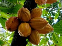 Kakaovník pravý je starý 10 milionů let