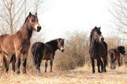 Divocí koně pomohou chránit přírodu v Národním parku Podyjí