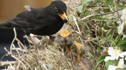 Ptáci poznají podstrčené mládě