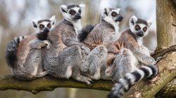 Lemuři na Madagaskaru v ohrožení