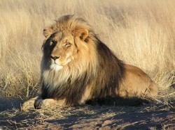 Počty lvů v Africe prudce klesají