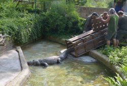 Tradiční stěhování aligátora Libora v ústecké zoo proběhlo úspěšně