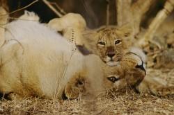 Kriticky ohrožených lvů indických přibývá