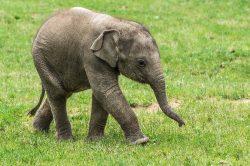 Slůně Maxmilián z pražské zoo slaví první narozeniny