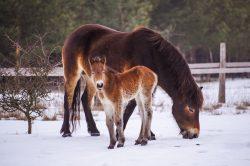 V Milovicích přišla na svět první letošní hříbata divokých koní