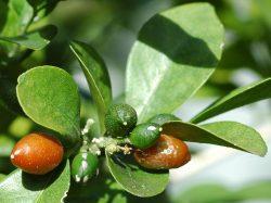Nejstarší bonsaj u nás získala Botanická zahrada v Liberci