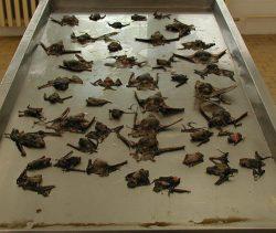 Zabijákem severoamerických netopýrů je překvapivě vitamín