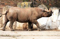 Na svět přišlo třetí letošní mládě vzácného nosorožce