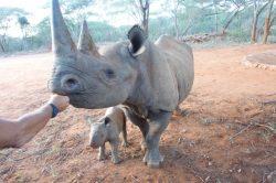 Nosorožci z dvorské zoo mají v Tanzanii již třetí mládě
