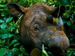 Po 40 letech odchytili vzácného nosorožce