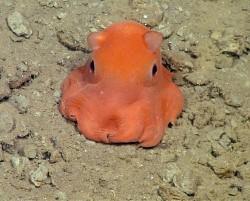 """Růžová chobotnice je tak roztomilá, že ji vědci pojmenují """"adorabilis"""""""