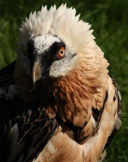 V liberecké zoo hnízdí hned dva páry orlosupů bradatých
