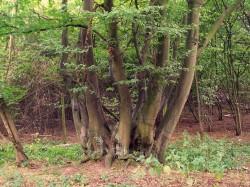 Stromy v Podyjí pamatují Přemyslovce