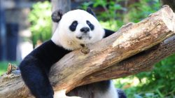 Panda velká už není ohrožený druh. Ale…