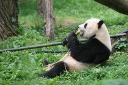 V Číně zemřel nejstarší pandí samec na světě