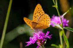 Vědci na malé pastvině u Milovic napočítali 42 % druhů českých motýlů!