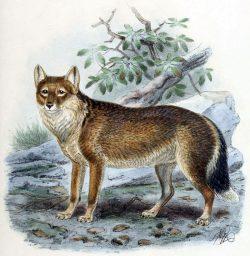 """Evoluční záhada """"Falkladského vlka"""" byla vyřešena"""