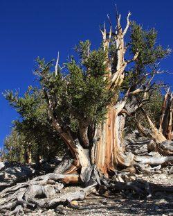 Nejstarší stromy světa? I přes 5000 let!