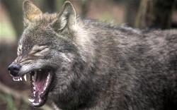 Vrací se po 200 letech do Dánska vlci?