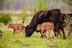 V Milovicích se narodila dvě mláďata zpětně šlechtěných praturů