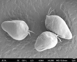Čeští vědci zkoumají mimořádně důležitého mořského prvoka