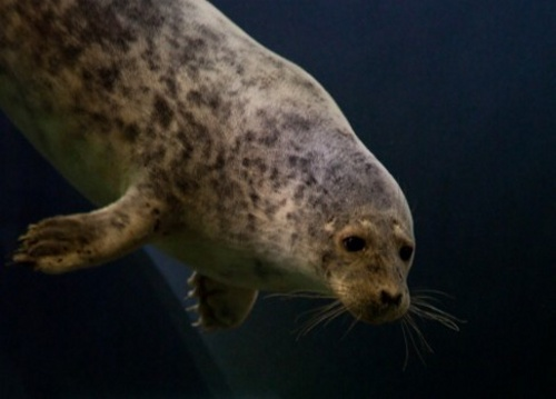 Tuleně zabíjí záhadná nemoc