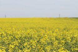 Řepka a kukuřice může za znečištění podzemních vod v ČR