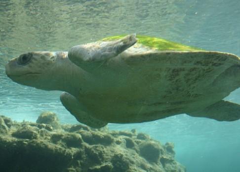 Podle čeho se orientují mořské želvy?